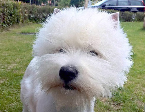 Bremen :: Bettyhill's Westies