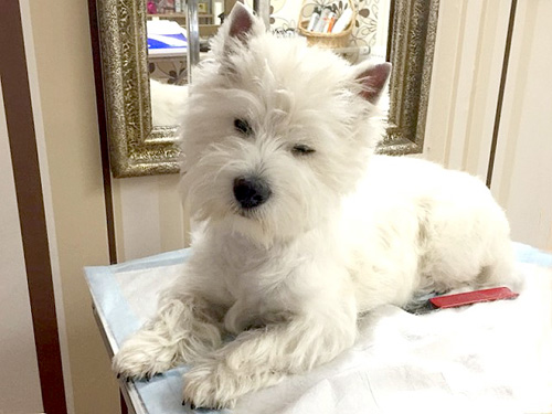 MIla beim Trimmen :: Bettyhill's Westies