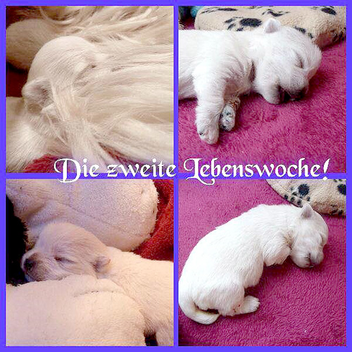 Wurf vom 16.02.2015 :: Bettyhills Westies