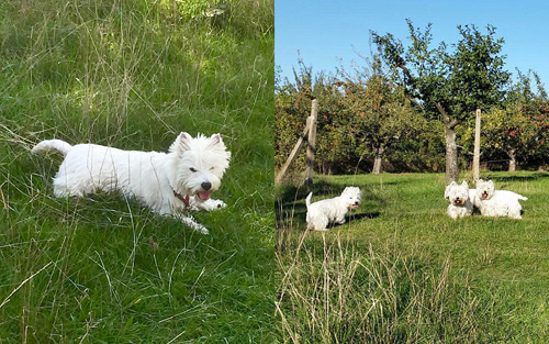 Herbst in der Heimat :: Bettyhill's Westies